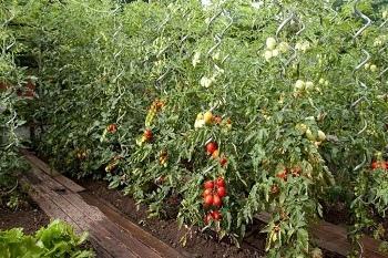 Pali spiralati per pomodoro metallo spirale professionali for Piantare pomodori